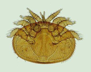 varroa-anathomie